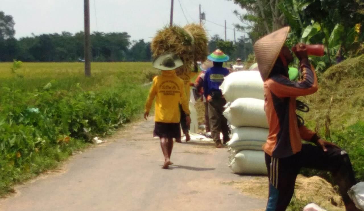 Pemburu Padi Dari Sejumlah Desa Puji Kinerja Satgas TMMD