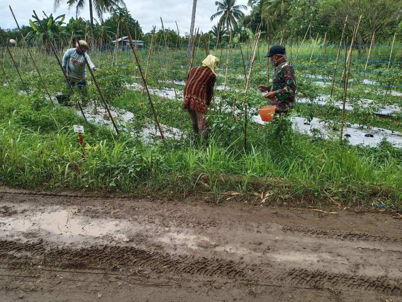 Di Lokasi Pra TMMD, Babinsa Bantu Petani Panen Lombok